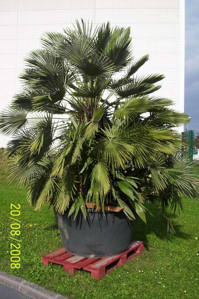 Palmier exterieur en pot latest pot pour palmier for Type de palmier exterieur
